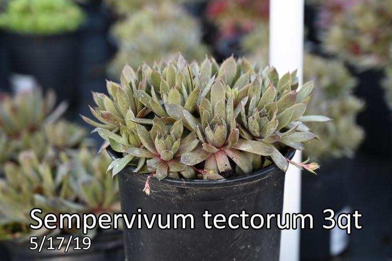 Sempervivum-tectorum