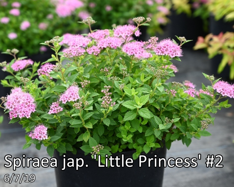 Spiraea-jap.-Little-Princess