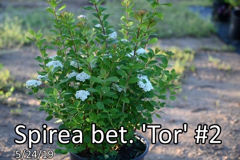 Spirea-bet.-Tor