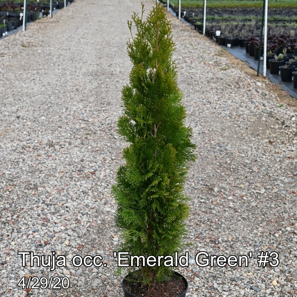 Thuja occ. Emerald Green #3
