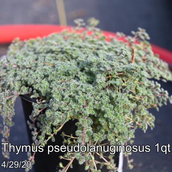 Thymus pseudolanuginosus 1qt