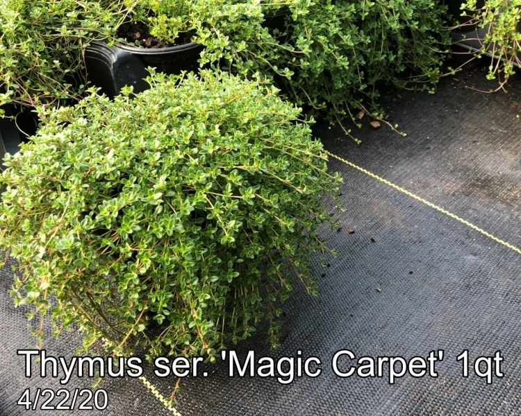 Thymus ser. Magic Carpet 1qt