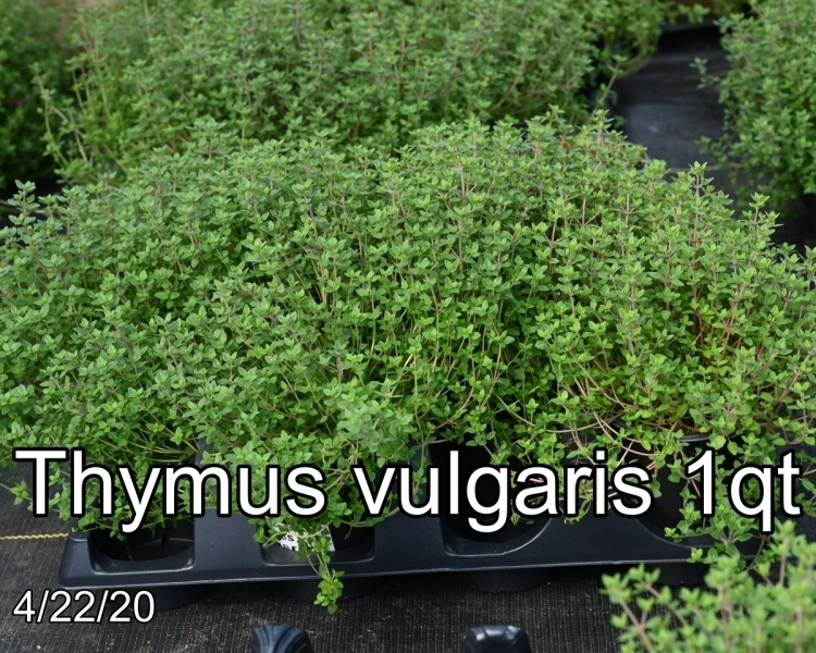 Thymus vulgaris 1qt