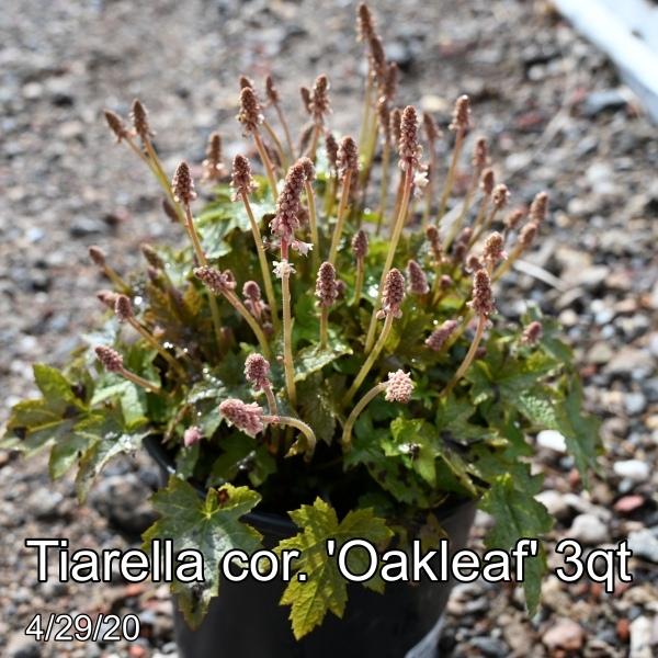Tiarella cor. Oakleaf 3qt