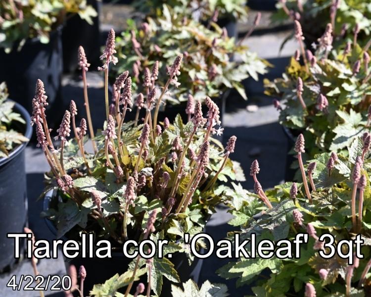 Tiarella cor. Oakleaf