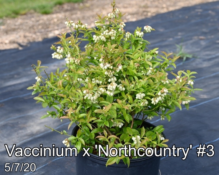 Vaccinium x Northcountry #3