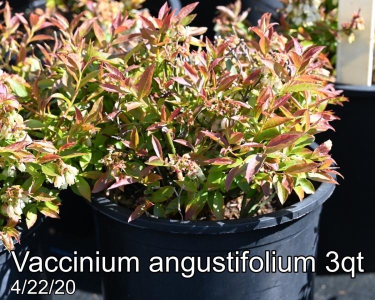Vaccinium angustifolium 3qt