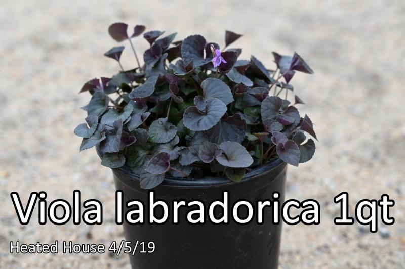 Viola-labradorica