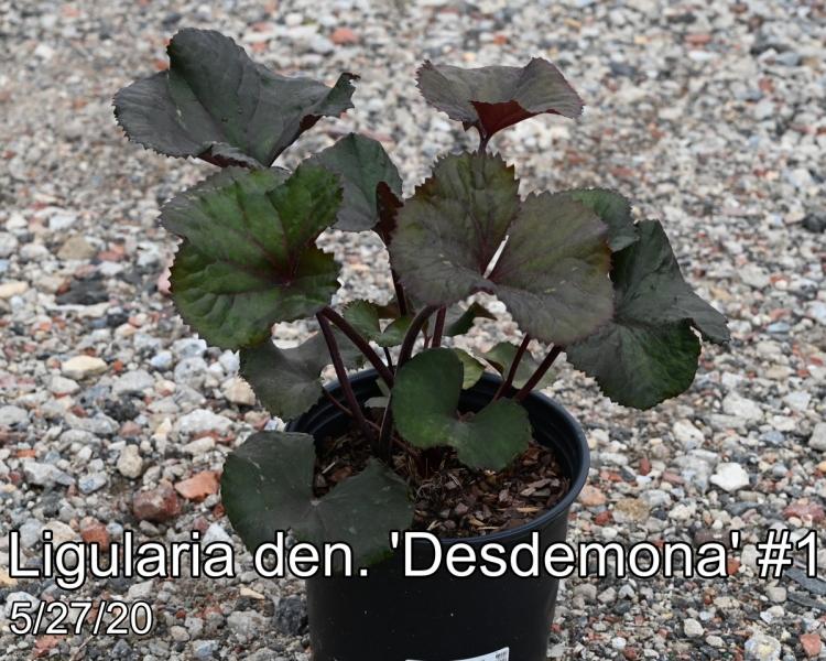 Ligularia den. Desdemona #1