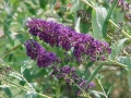Buddleia davidii 'Black Night'