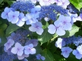 Hydrangea s. 'Bluebird'