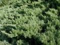 Juniper procumbens 'Nana'