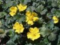 Potentilla 'fragiformis'