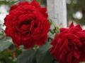 Rosa 'All Ablaze'