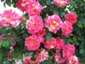 Rosa 'Candy Land'