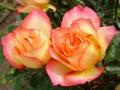 Rosa ' Rainbow Sorbet'
